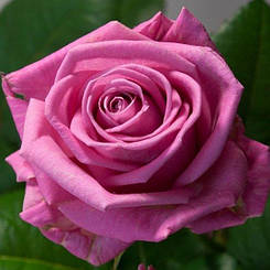 """Троянди чайно-гібридна """"АКВА"""" ('Aqua')"""