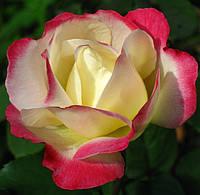 Фото розы «Дабл Делайт»