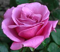 Фото. Сиреневая роза.