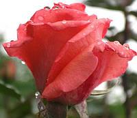 Фото розы «Дольче Вита.»