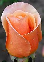 Фото розы «Примадонна»