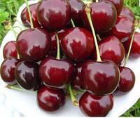 Саженцы черешни Крупноплодная(Украина)