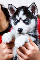 Блакитні очі хаскі – красиві фото