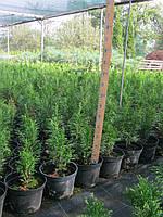 Продажа недорого Туя Смарагд 30- 40 см и др. размеров в горшках, фото 1