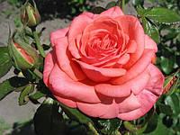 Фото розы «Вау!»