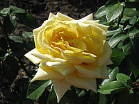 Саженцы розы Ландора