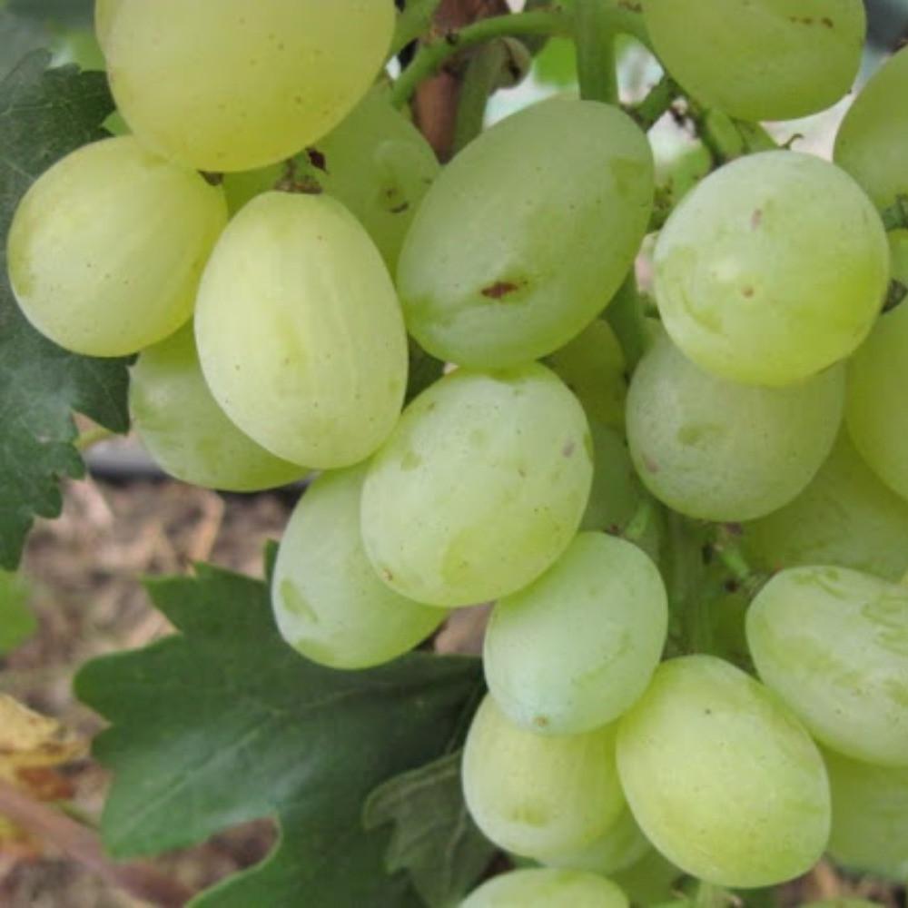 Виноград Хруст