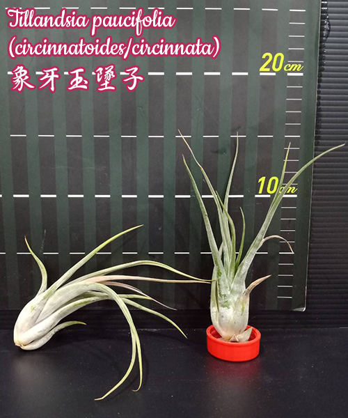 Тилландсия Tillandsia paucifolia