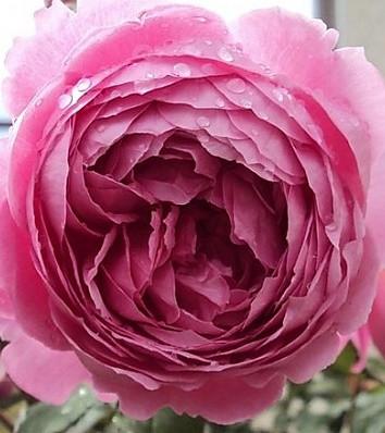 """Троянда англійська """"Alan Titchmarsh"""""""