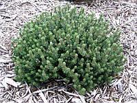 Сосна горная Киссен(Pinus mugo Kissen)Н=40-50
