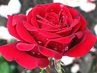 Роза Лиебесцаубер. (вс). Чайно-гибридная роза.