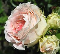 Роза Цезарь. Плетистая роза.