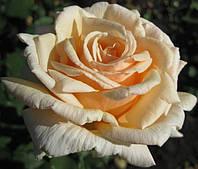 «Даймонд Джубили». Чайно-гибридная роза.