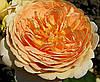 Роза Кроун Принцесса Маргарет. Английская роза.