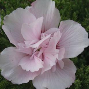 Саженцы Гибискуса сирийского Пинк Спот (Hibiscus syriacus Pinky Spot)