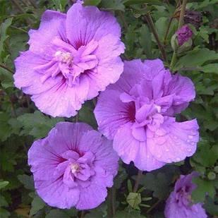 Саженцы Гибискуса сирийского Лавендер Шифон (Hibiscus syriacus Lavender Chiffon)