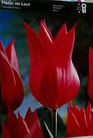 Тюльпан лілієподібний Pieter de Leur
