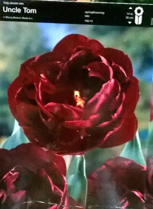 Тюльпан махровий Uncle Tom