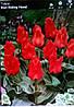 Тюльпан низькорослий Red Riding Hood