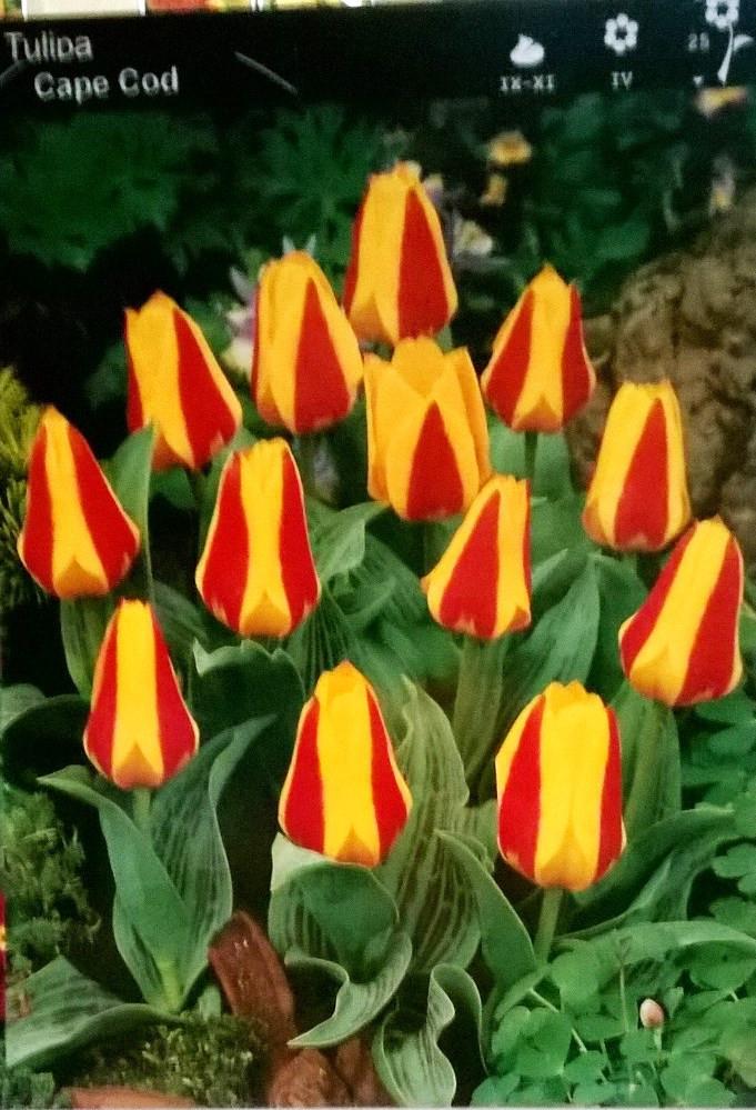 Тюльпан низькорослий Cape Cod