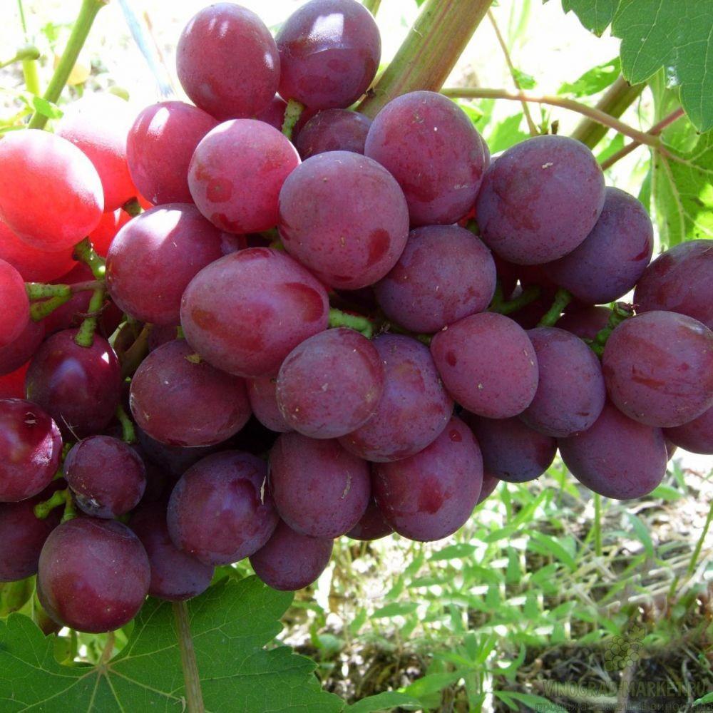 Виноград Подарок Несвятая