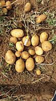 Картофель Сенсация 5к.г 1репродукция., фото 1