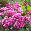 Снежноягодник Magic Berry (Мэджик Берри), 15-20 см, 2-летки, контейнер 0,5 л