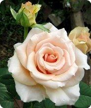 Саженцы Роза Solo Cream (Соло Крем) (лучшая цена купить оптом и в розницу)