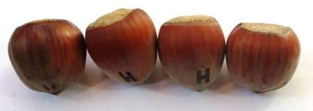 Фундук сорт Гигант Галле (Халле). Саженцы в контейнерах Д12.
