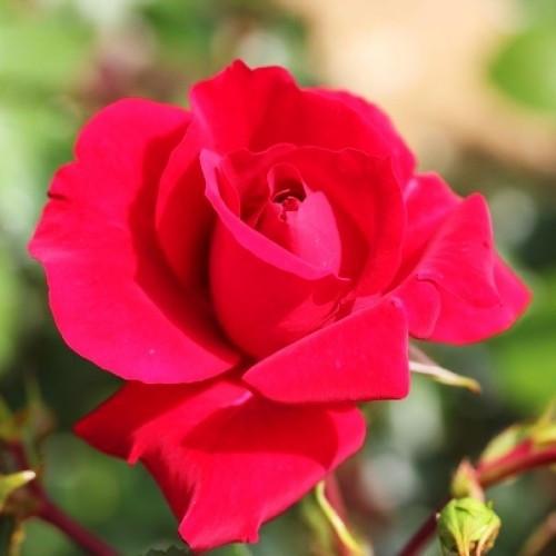 Саженцы Роза The Prince's Trust (Зе Принцесс Траст) (лучшая цена купить оптом и в розницу)