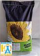 Гібрид соняшнику Параізо 1000 КЛ плюс, фото 2