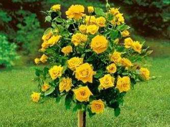 Саженцы Роза Friesia (Фрезия) (лучшая цена купить оптом и в розницу)