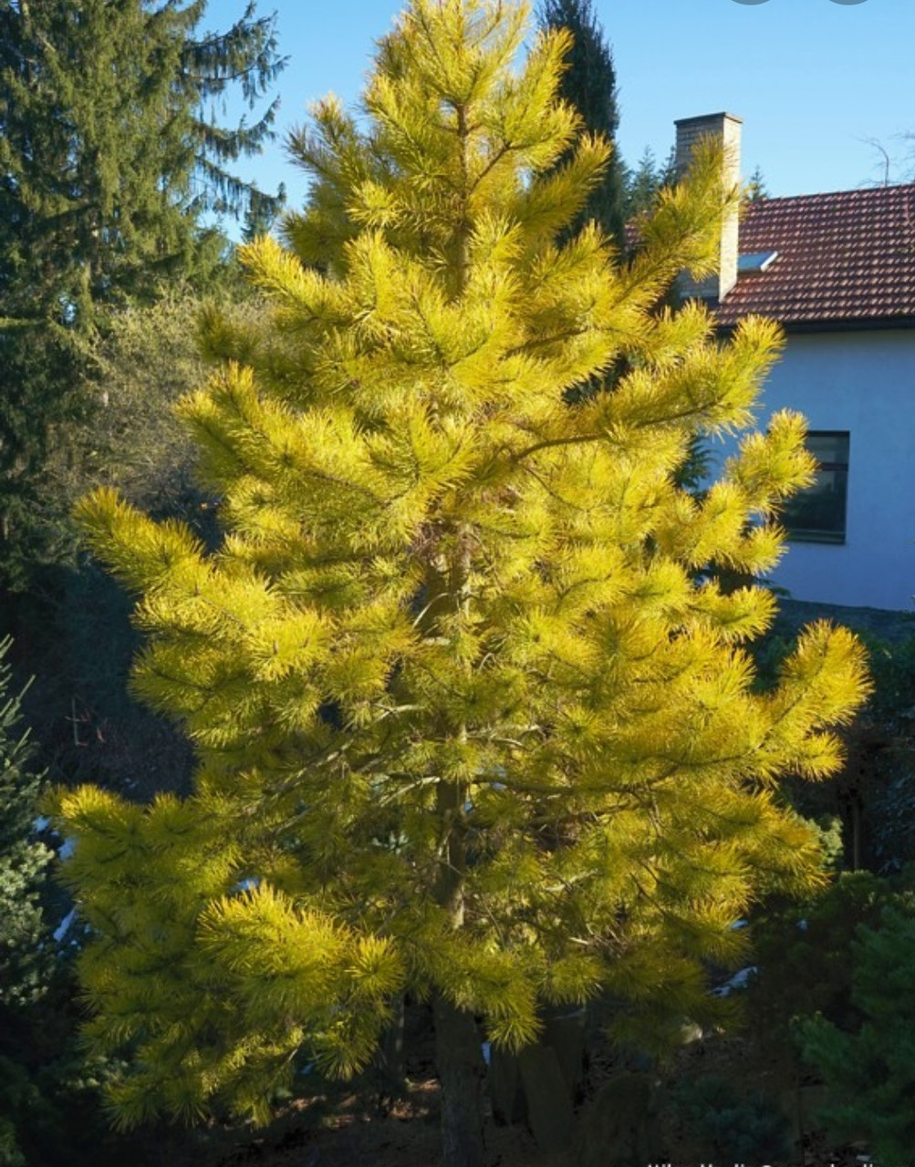 Pinus sylvestris Aurea