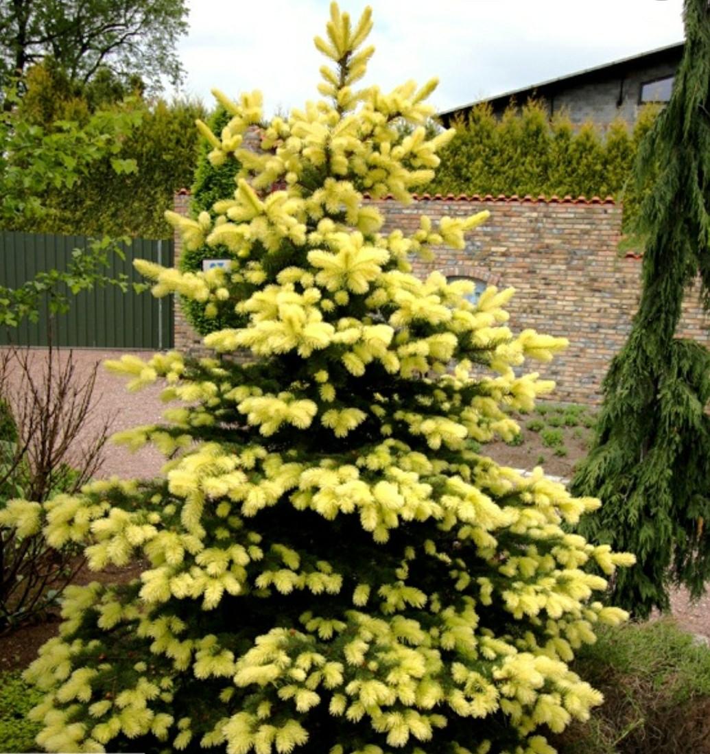 Picea pungens Maigold