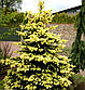 Picea pungens Maigold, фото 2