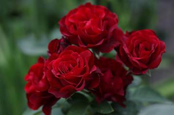 Саженцы Роза Hommage a Barbara (Оммаж з Барбара) (лучшая цена купить оптом и в розницу)