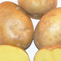 Пироль смачний середньостиглий сорт урожайний лежкий стійкий до вірусів клас 1Р ф 35 - 55 мм Німеччина, фото 1