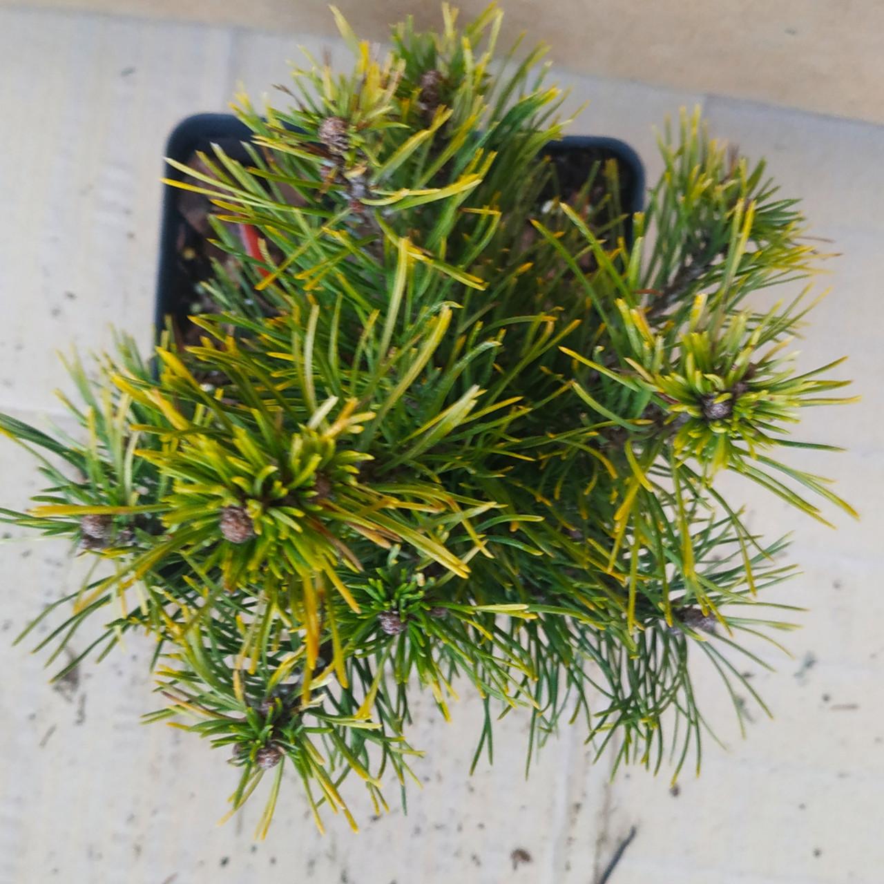Pinus mugo Milky Way
