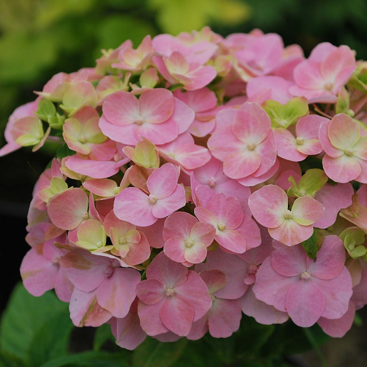 "Гортензия крупнолистная ""So long rosy"" /HYDRANGEA macrophylla So long rosy"