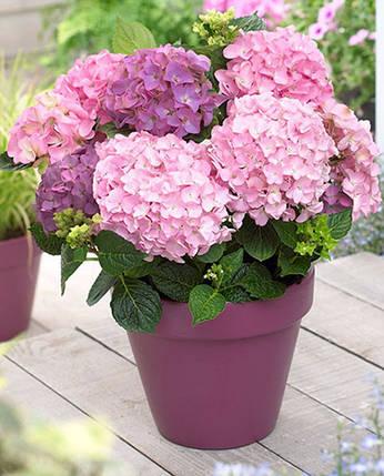 "Гортензия крупнолистная ""So long rosy"" /HYDRANGEA macrophylla So long rosy, фото 2"