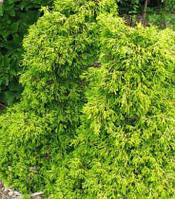 Кипарисовик туполистый 'Цацуми' | Кипарисовик туполистий 'Цацумі' | Chamaecyparis obtusa 'Tsatsumi' (ЗКС;0,7л)
