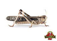 Живой корм для рептилий - Саранча перелётная 20 шт. (Locusta migratoria)