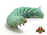 Живой корм для рептилий – Табачный бражник 15 шт. Manduca sexta Hornworms