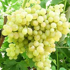 Бескосточковые (кишмишные) сорта винограда
