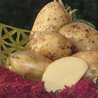 Картофель Аннушка высокоурожайный лежкий сорт первая репродукция фракция 35 - 55 мм Германия