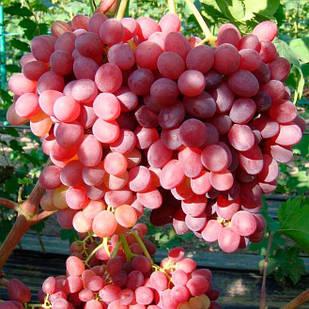 Вегетирующие саженцы винограда Кишмиша Велес - сверх ранний, крупноплодный, зимостойкий