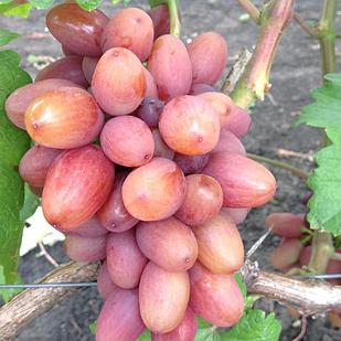 Вегетирующие саженцы столового винограда  Богема - ранний, крупноплодный, зимостойкий