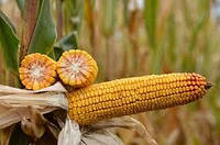 Семена кукурузы СИ Фортаго (ФАО 260)