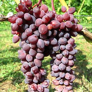 Вегетирующие саженцы столового винограда Граф Монте Кристо - раннего срока, урожайный, товарный