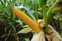Семена кукурузы Си Феномен ФАО 220